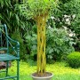 osier vivant arbre tressé loisirs créatifs