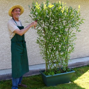Panneau tressé prêt à planter. 60 ou 80 cm de long